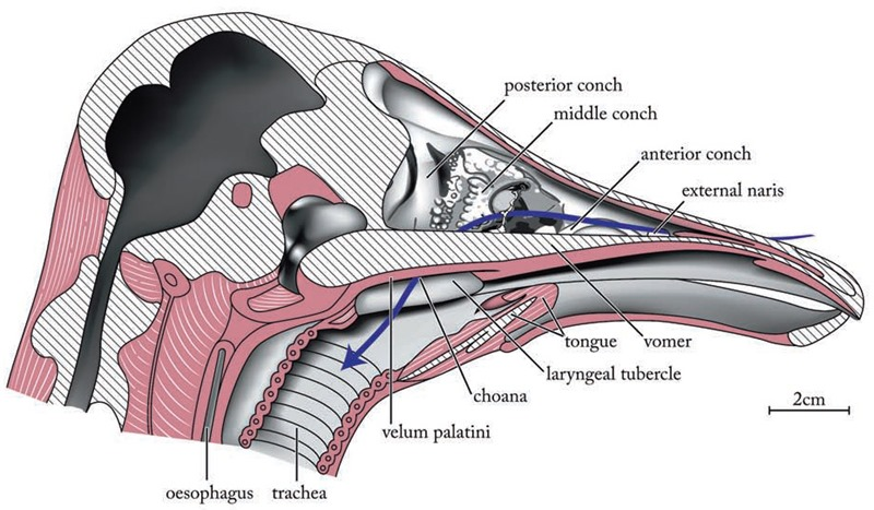 Schéma d'une coupe sagittale de tête d'autruche