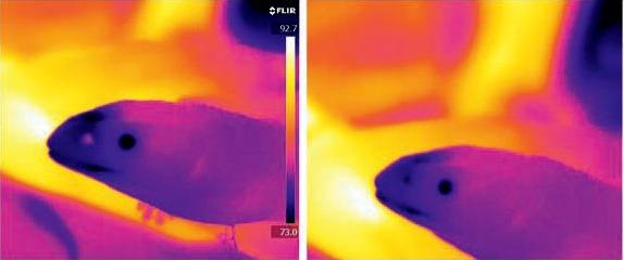 Thermogramme d'un varan des savanes exhalant et inhalant