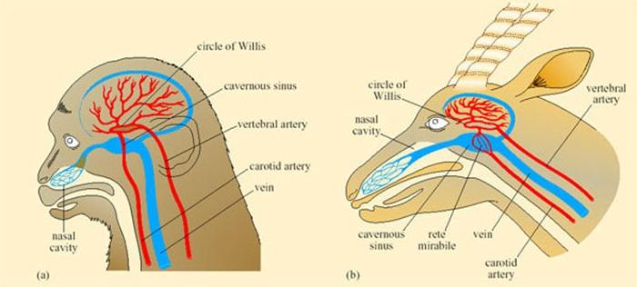 Comparaison du système vasculaire des cornets nasaux d'un singe et d'une gazelle