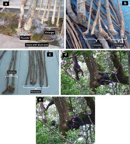 Plan de table pour récolter du miel des chimpanzés gabonais