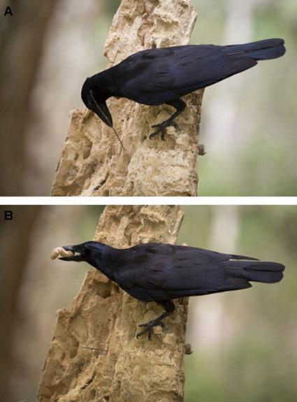 chasse au ver de bancoule par un corbeau de nouvelle calédonie