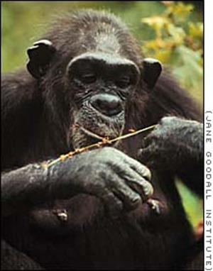 Chimpanzé dégustant des termites