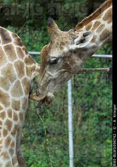 03 Girafe Urine