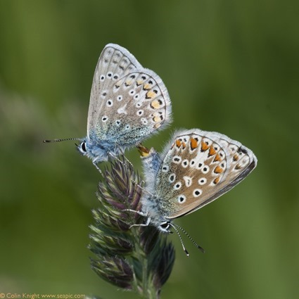 16 mating_Polyommatus