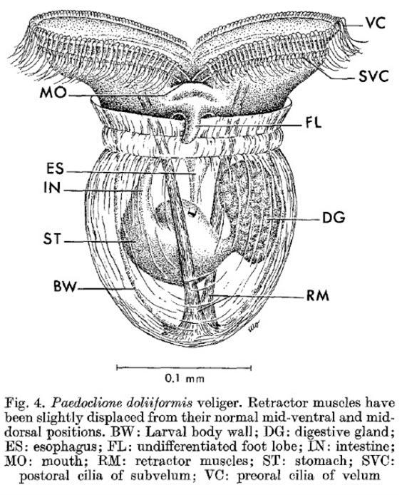 Larve véligère de Paedoclione doliiformis, Lalli & Conover, 1973