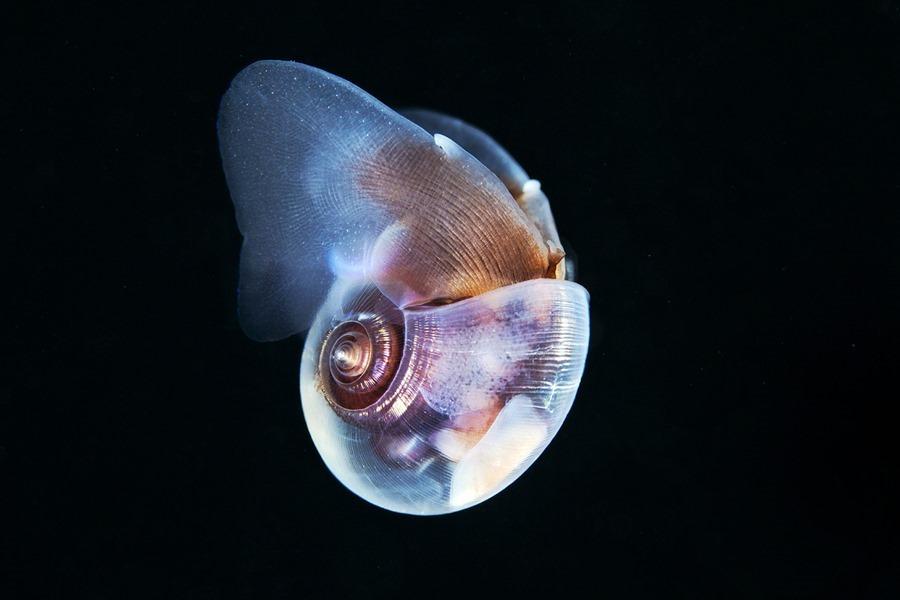 Limacina helicina, Alexander Semenov