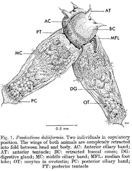 Position copulatoire de Paedoclione doliiformis, Lalli & Conover, 1973