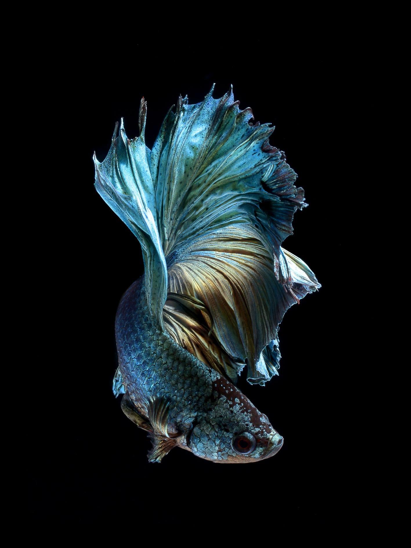 Strange and funky animal photographer visarute for Betta fish live wallpaper