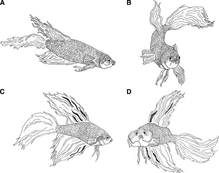 Postures normales (A,B) et agressives (C,D) de combattants mâles (Betta splendens)