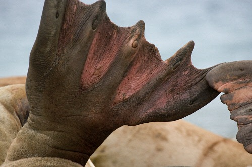 Palette natatoire de morse, Odobenus rosmarus