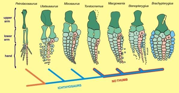 Evolution des palettes natatoires des Ichthyosaures