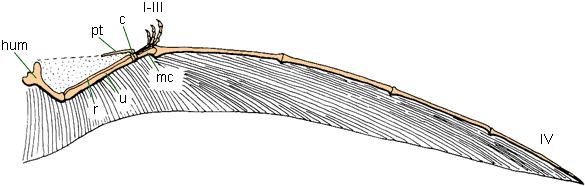 aile de ptérosaure