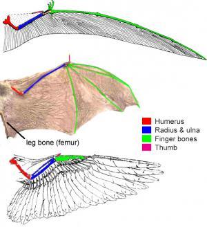 ailes de tétrapodes