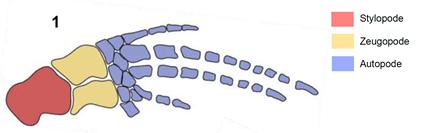 Palette natatoire de baleine