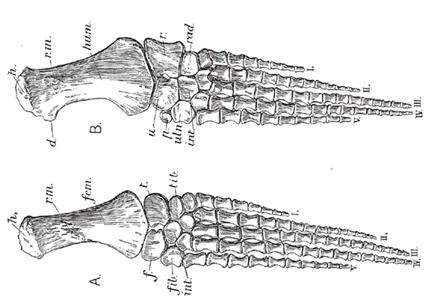 Palette natatoire de Plesiosaure