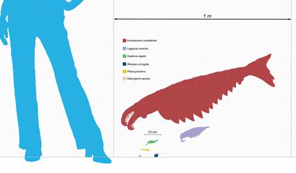 Comparaison de taille de spécimens de la faune de Burgess Shale et un Homo Sapiens femelle