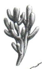 représentation de Laggania