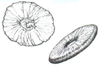 Représentation de Peytoia