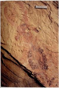 Anomalocaris saron