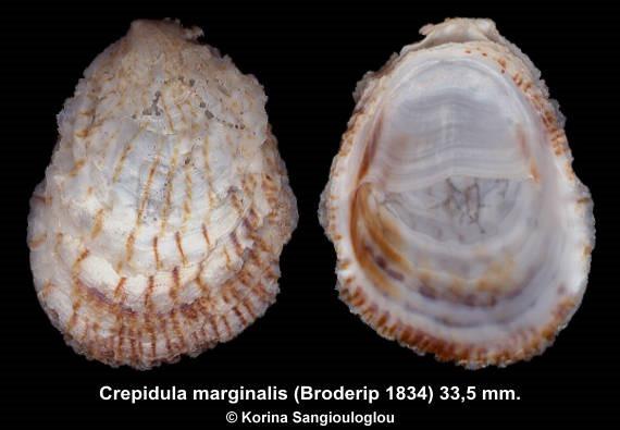 Crepidula marginalis