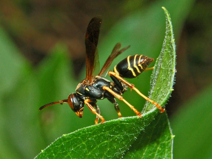 Polistes fuscatus, By Hectonichus