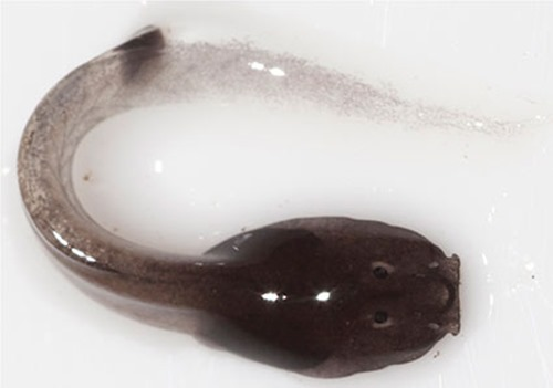 Têtard de Rhacophorus vampyrus