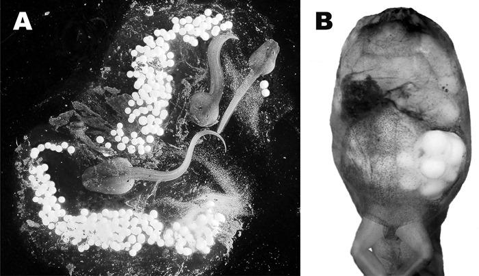 oophagie chez Rhacophorus vampyrus