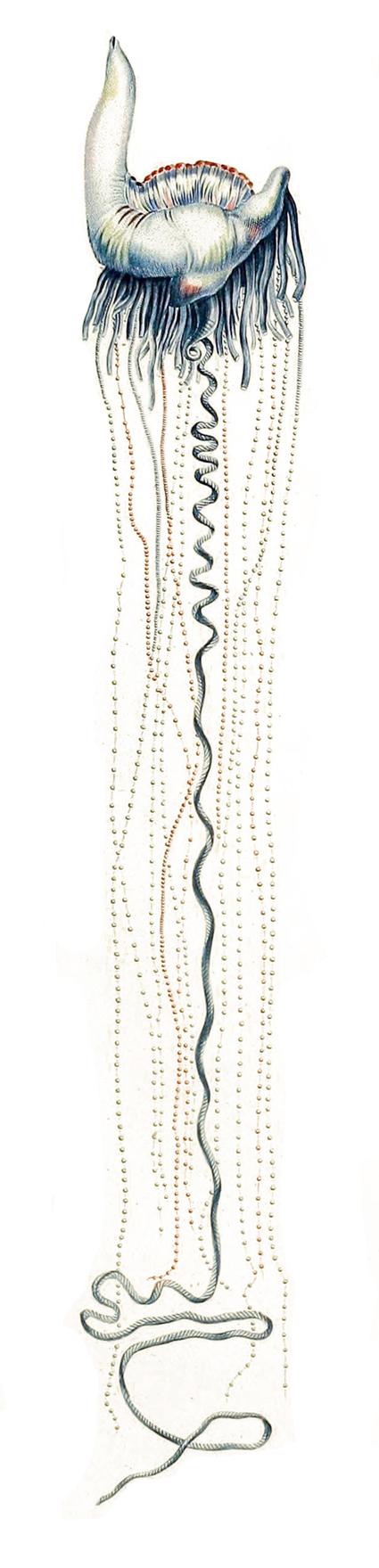 Physalia physalis, décrit par Lesueur dans son Voyage de découvertes aux terres Australes