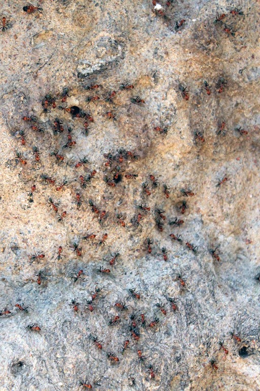 Attaque de fourmis de feu