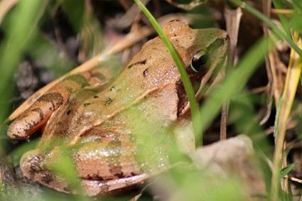 Grenouille rousse, Rana temporaria