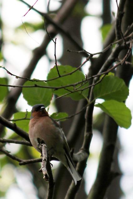 Pinson des arbres (Fringilla coelebs)