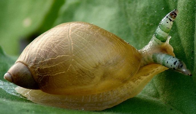 Succinea putris après infection par Leucochloridium paradoxum