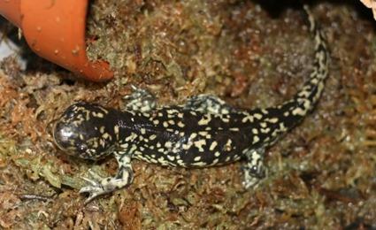 Axolotl métamorphosé
