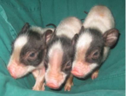 CRISPR Bacon