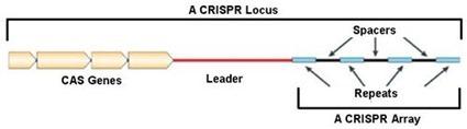 Locus CRISPR