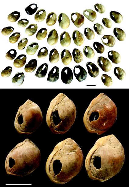 Perles en coquillages de la grotte de Blombos, barre d'échelle: 5mm; Henshilwood C, et al., 2004