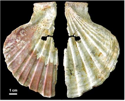 Vue des des 2 faces d'une perle en Coquille Saint Jacques de la grotte Néandertalienne d'Anton, Zilhao et al., 2010