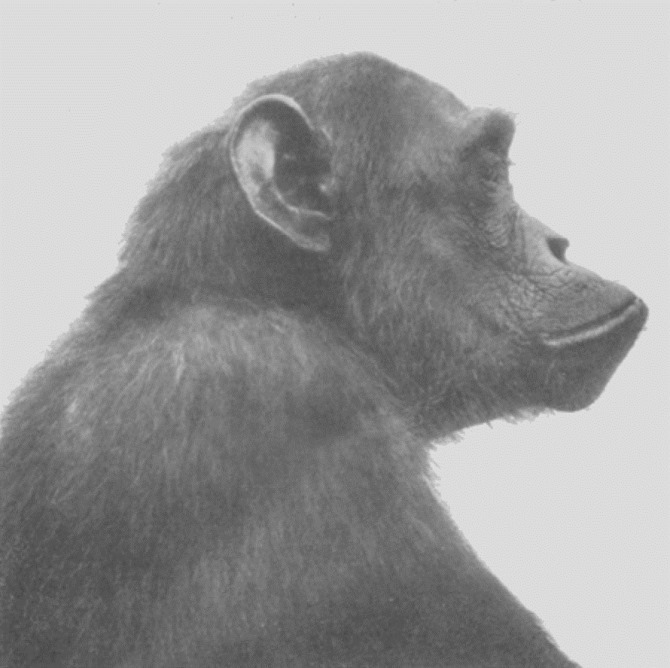 Chimpanzé, Adolf Naef 1926