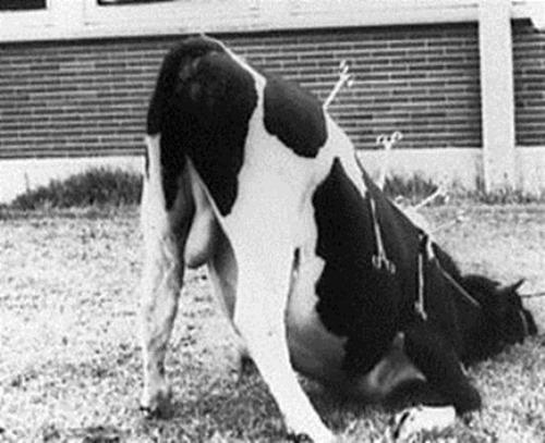 Clipnose chez la vache