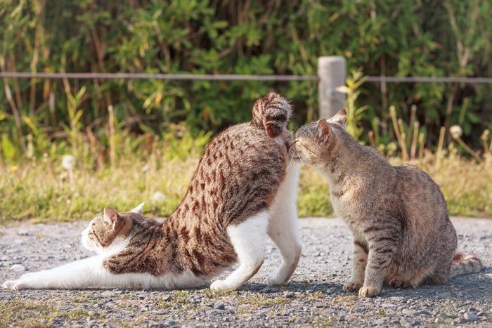 Présentation anale chez les chats
