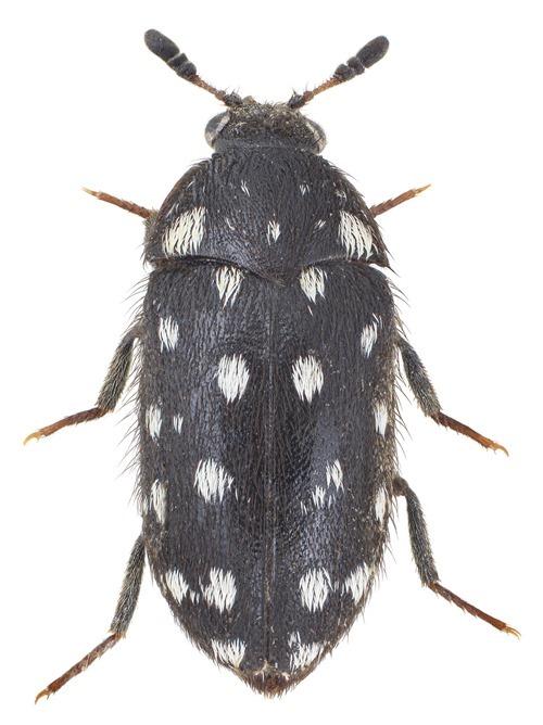 Attagenus punctatus, Dermeste boules-de-neige - Christoffer Fägerström