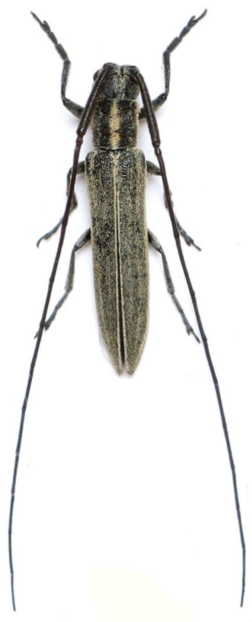 Calamobius filum, Céréales Killer - Zdenek Chalupa