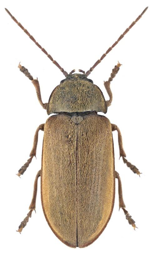 Dascillus cervinus, Dascille de Koch - Udo Schmidt