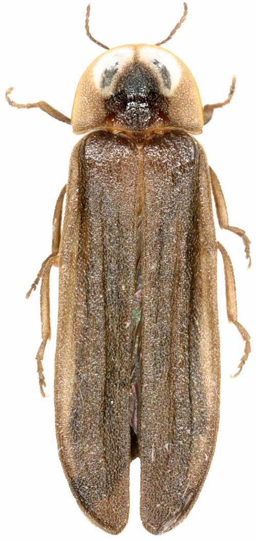Lamprohiza mulsanti, Ver progressif