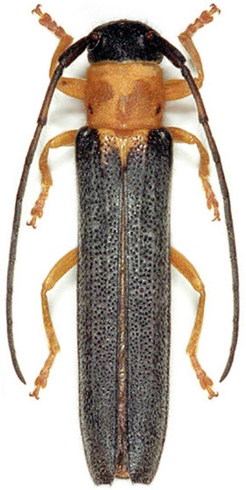 Oberea pupillata, Obera comique - M Hoskovec
