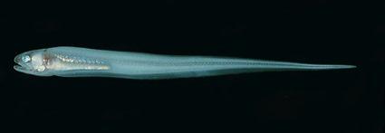 Encheliophis homei, Randall, J.E.
