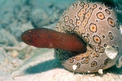 Un carapidé dans l'anus d'une holothurie