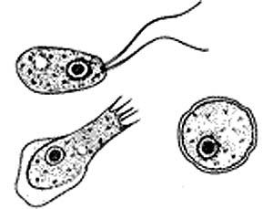 3 formes de Naegleria fowleri