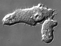 Dictyostelium discoïdeum