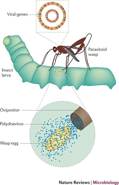 Polydna virus et Cotesia